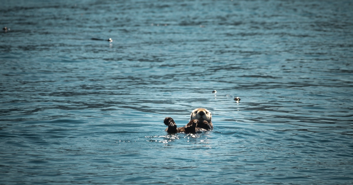 Reintroducing sea otters is good for the environment and the economy, and both matter