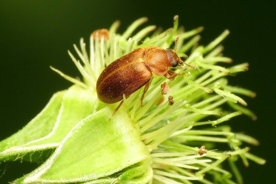 a brown beetle on a yellow flower