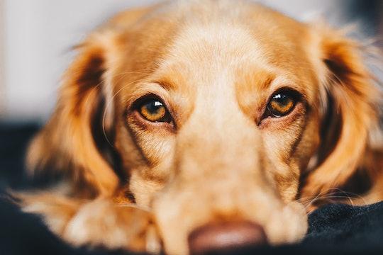 close up of golden retriever dog looking at camera