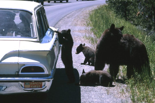 Sow black bear and three cubs by a stopped car. One cub has front paws on on passenger door.
