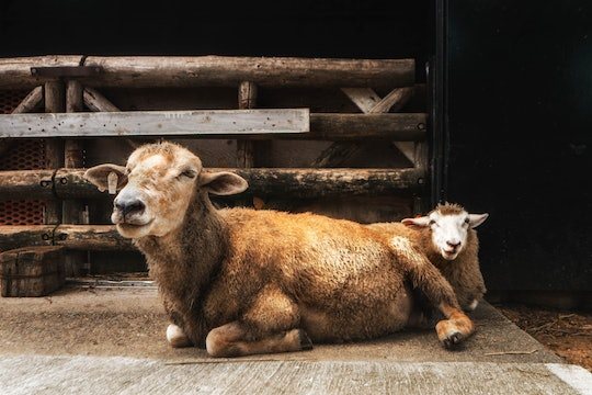 a sheep and a lamb laying on the ground