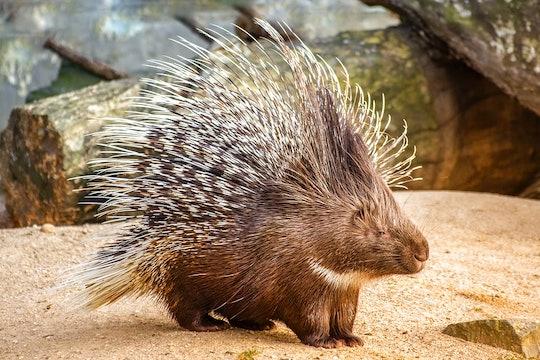 a porcupine close-up