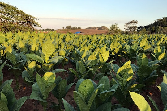 A tobacco field