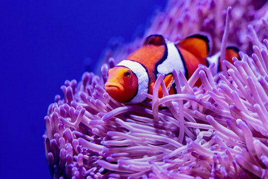 a small orange and white striped fish in a sea anemone
