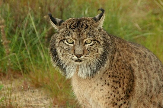 a spotted big cat with pointy ears and long whiskers