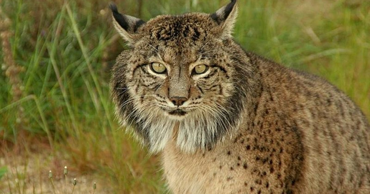Iberian lynx eat more species of prey than previously thought