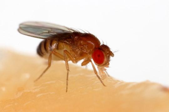 A fruit fly, Drosophila melanogaster
