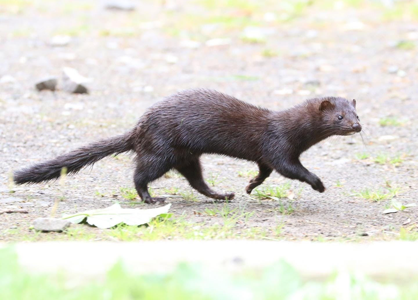 An American mink walking in a national park