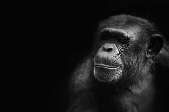 chimpanzee against a black background