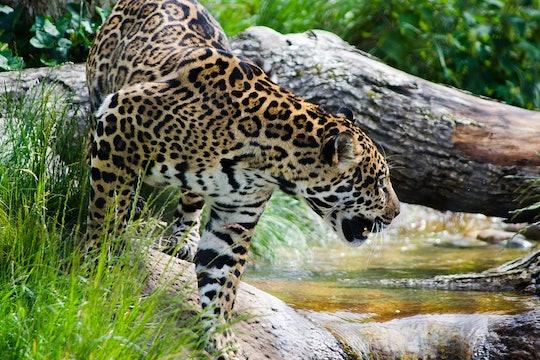 a jaguar hunting near a river