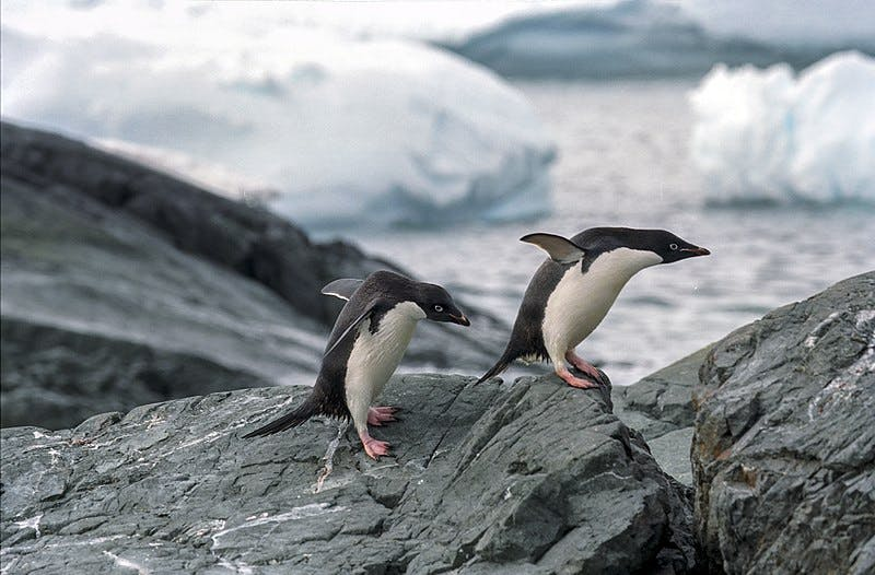 two penguins hopping over rocks