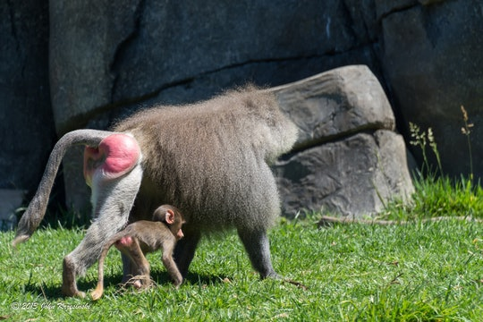 A baboon walks with a baby, both with visibly swollen red buttocks, seen at the Oakland Zoo, California