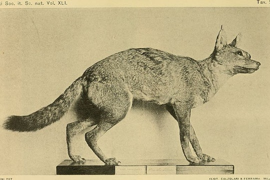 a scientific drawing of a small wolf museum specimen