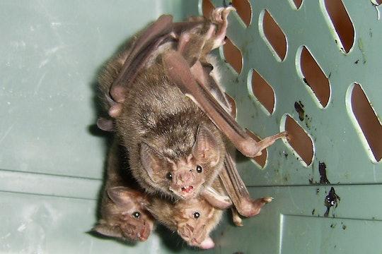 A trio of vampire bats inside a crate.