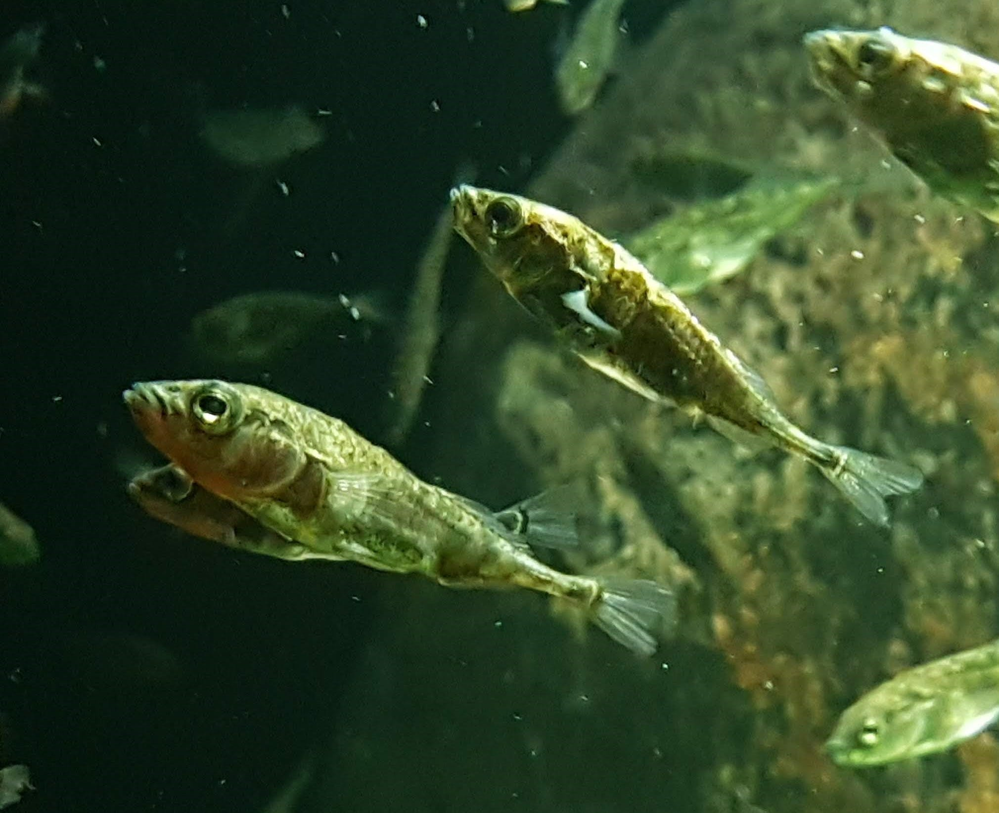 Three spined stickleback fish swimming