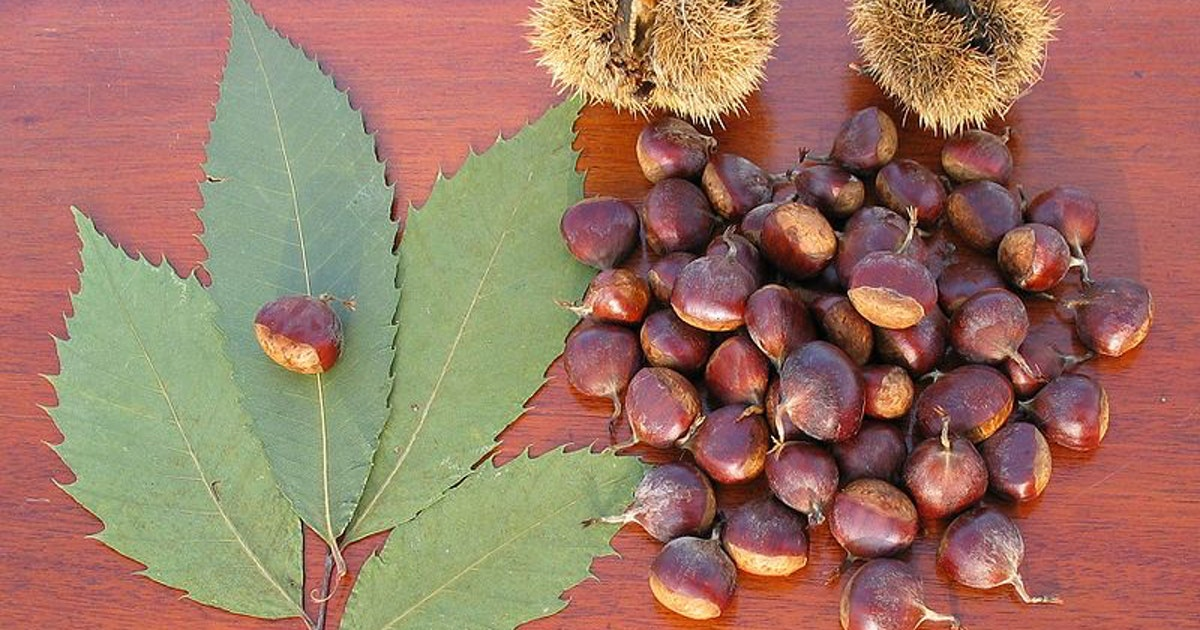 Genetic engineering can save the American chestnut tree from a deadly fungus