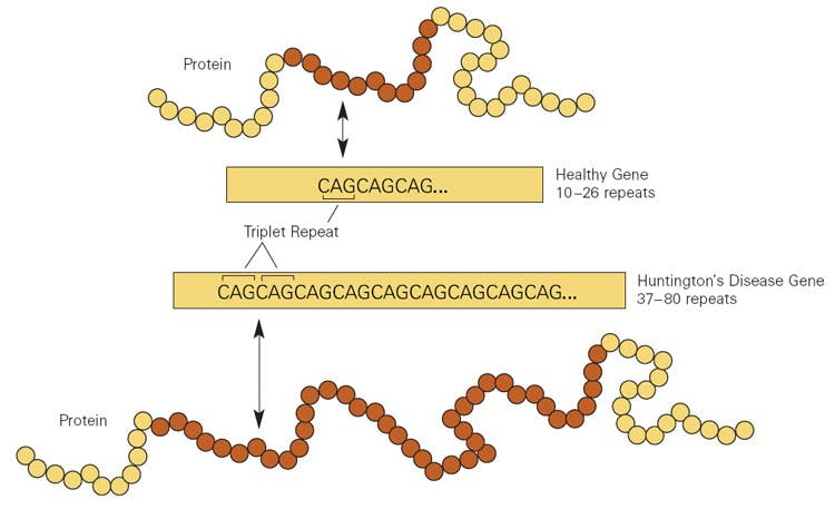figure showing a gene and the mutated version of the gene with additional CAG nucleotide repeats