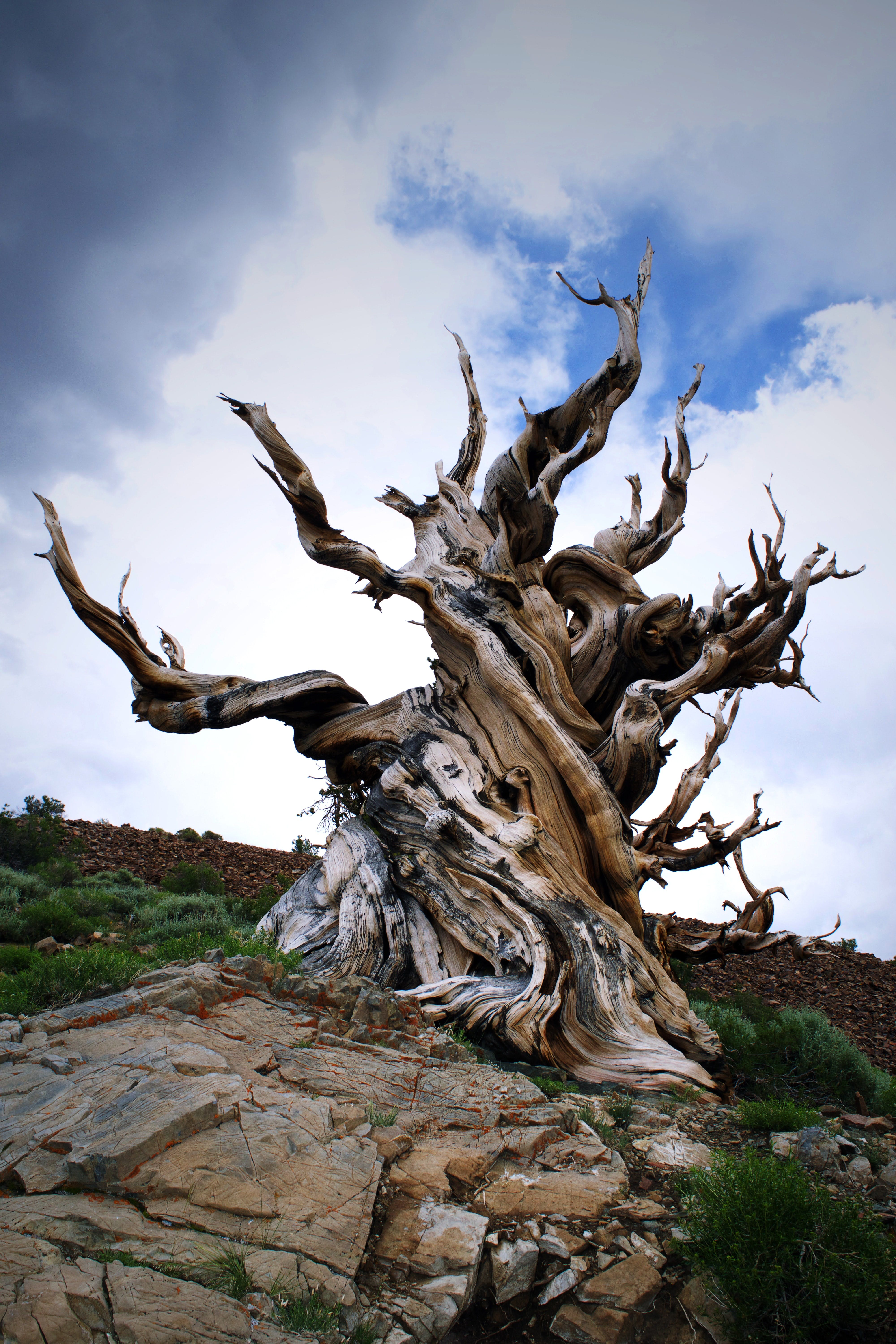 gnarled old bristlecone pine tree growing on a rock