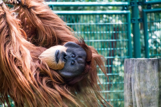 an orangutan hanging out in a green cage in a zoo