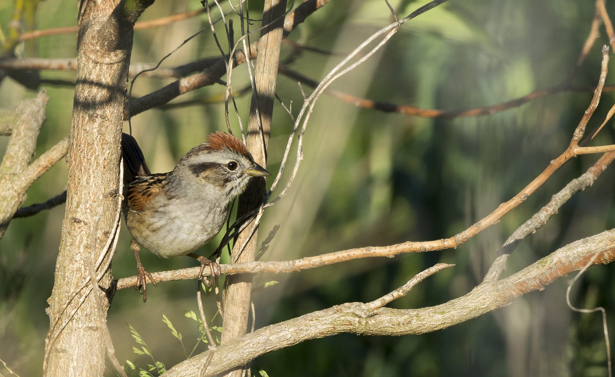 A swamp sparrow sitting on a branch