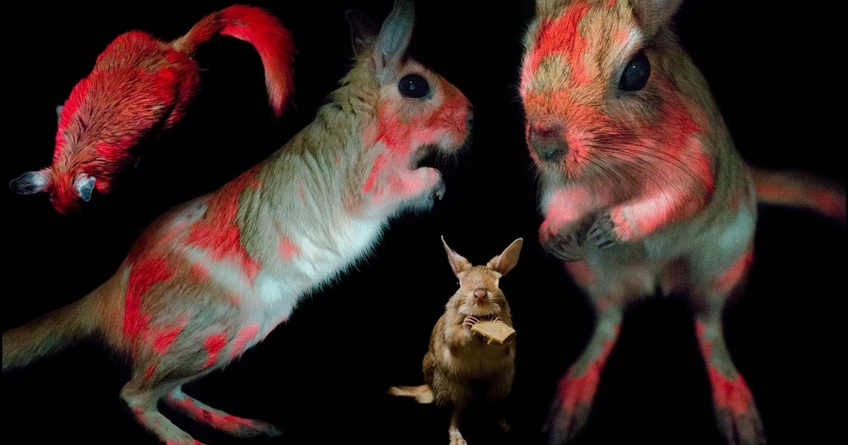 Meet the springhare: the first glow-in-the-dark African mammal known to science