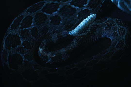 Photo of a Mexican lance-headed rattlesnake (Crotalus polystictus) rattle fluorescence under UV light