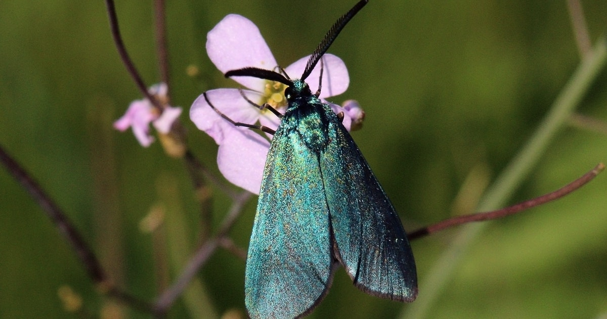 Meet the colour-changing green forester moth: a living water vapour sensor