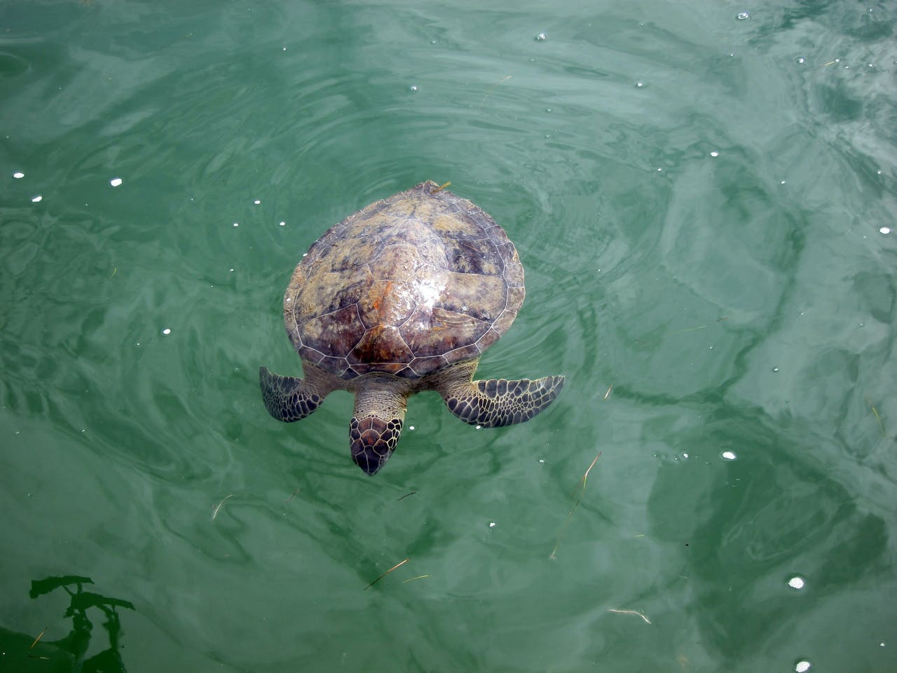 a turtle floats on shallow water