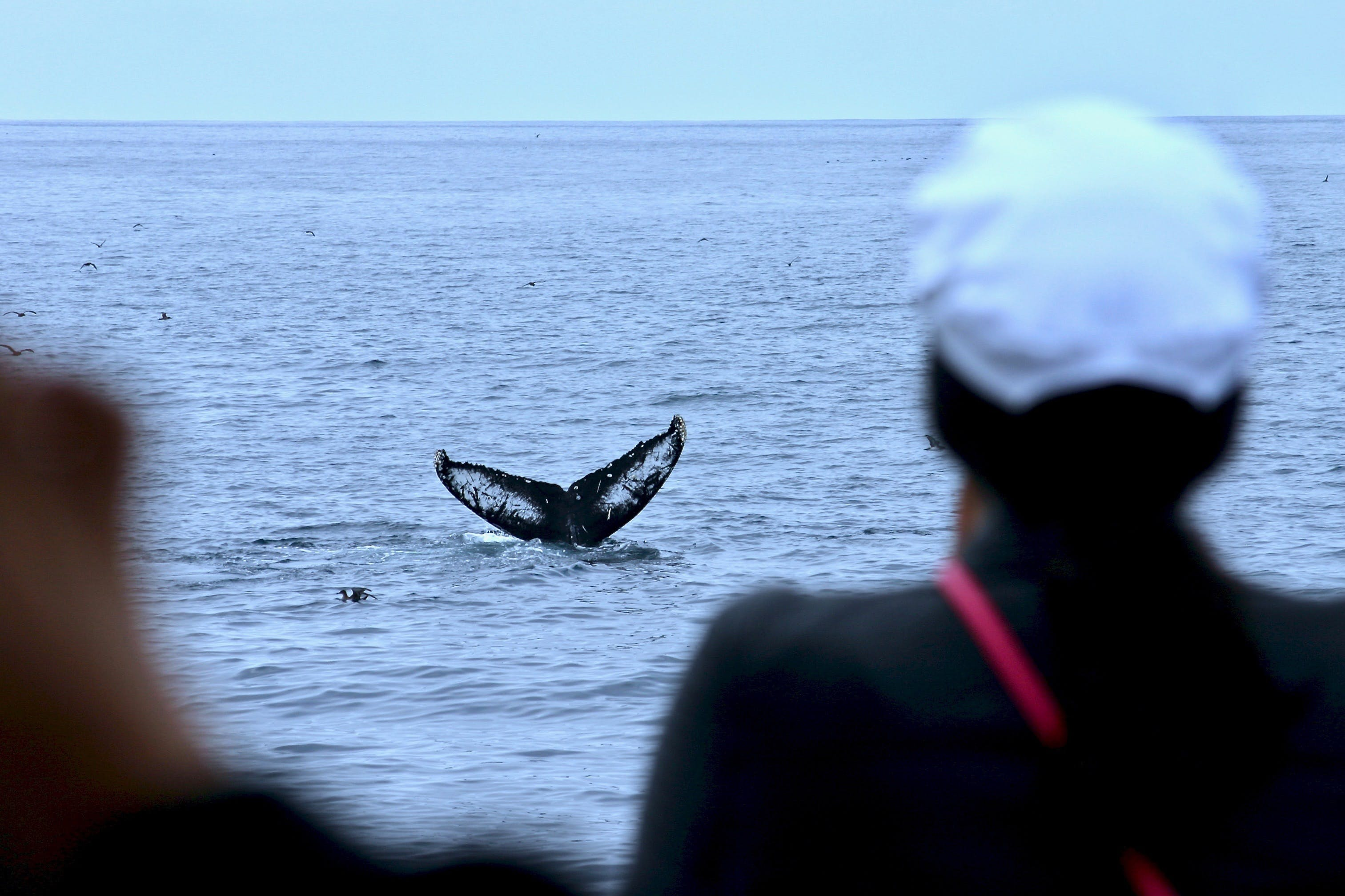 The tail of a whale appears out of the distance from the water.