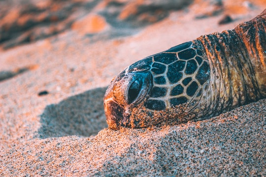 a sea turtle with its head resting on the sand