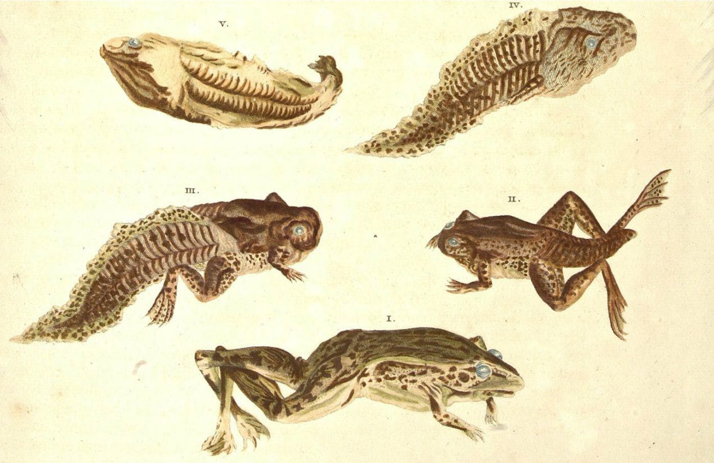 Frog life cycle from Metamorphosis insectorum Surinamensium