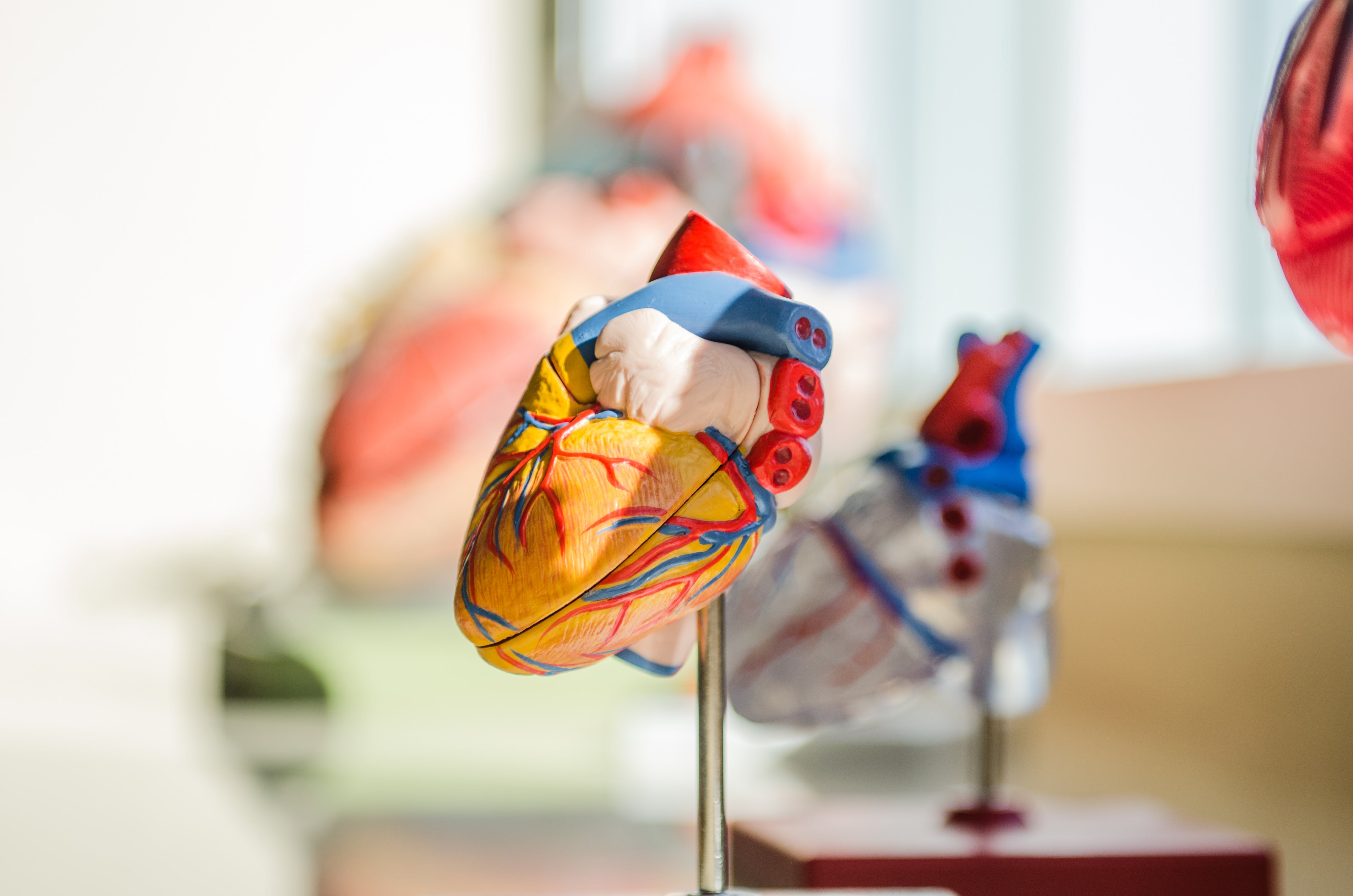heart organ model anatomy