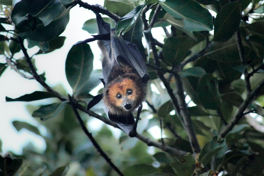 The Mauritian flying fox is endangered, and a frequent target of culling efforts.