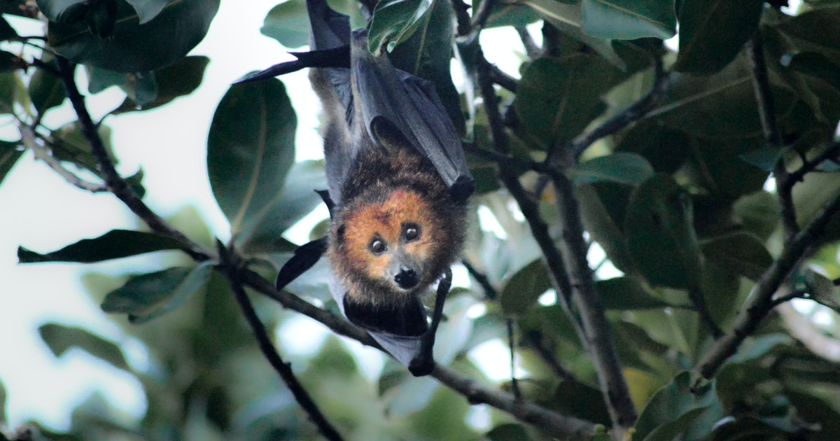 Weeding out non-native strawberry guava keeps a flying fox, and the crops it feeds on, out of harm's way
