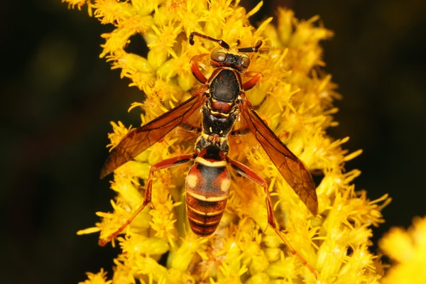 Polistes fuscatus from Virginia with brilliant red and yellow concentric abdominal spots