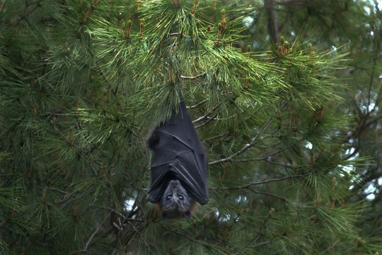 a large bat hanging in a pine tree
