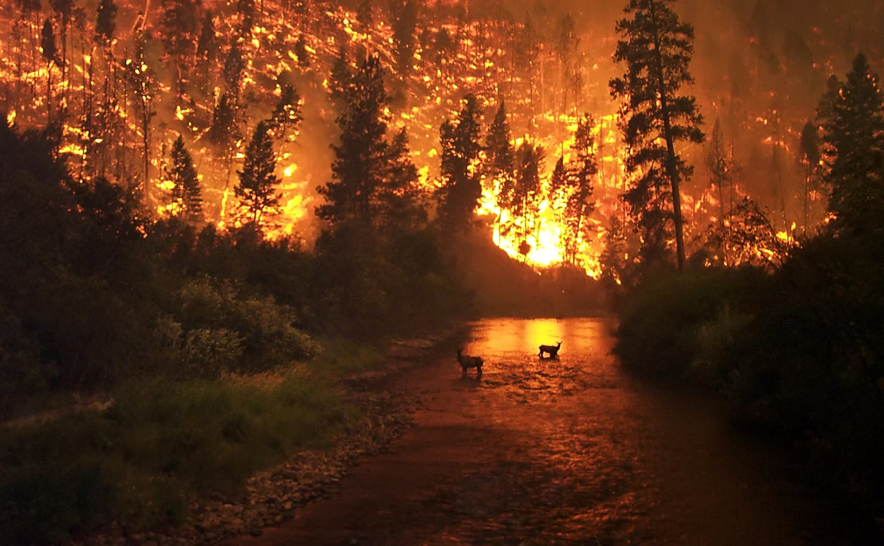 A wildfire in the Bitterroot National Forest in Montana, United States. Two elk stand in a stream with a hillside on fire in the background.