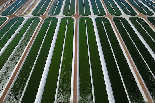 An aerial view of large pools of water used to grow Nannochloropsis, an edible algae.