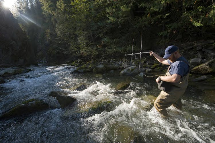 A US Fish and Wildlife Services scientist standing in a stream, tracking bull trout using radio telemetry