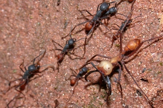 Eciton burchellii army ants
