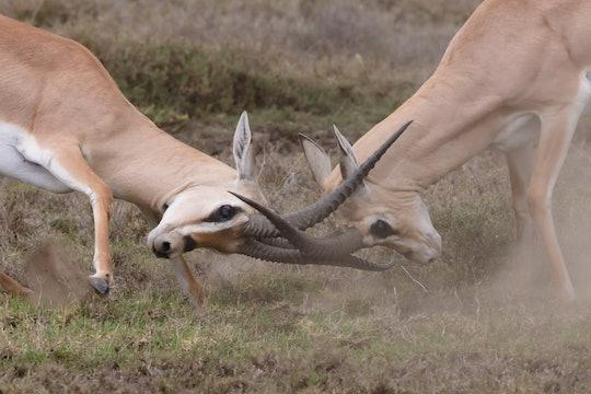 Animal fight challenge
