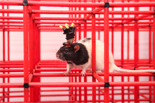 A rat with a device attached to its brain crawls through a three-dimensional (3D) maze.