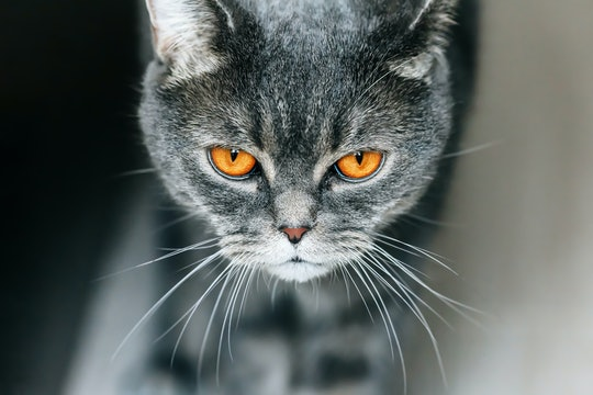 A gray cat with orange eyes