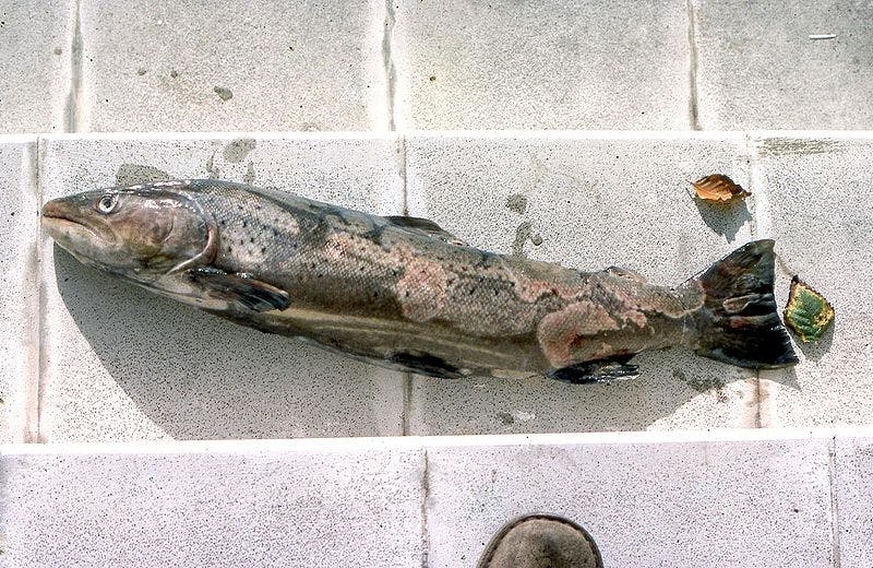 a trout with infected skin laying on the ground