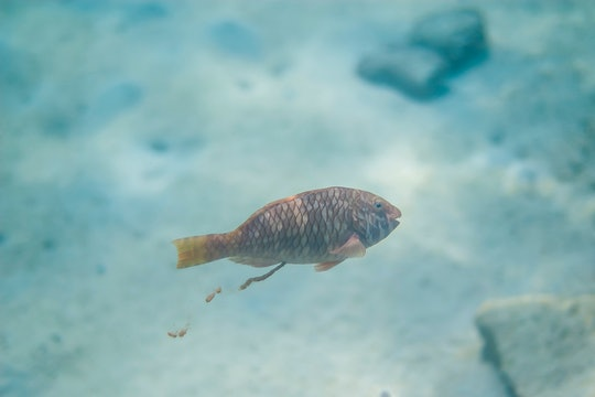 A parrotfish pooping