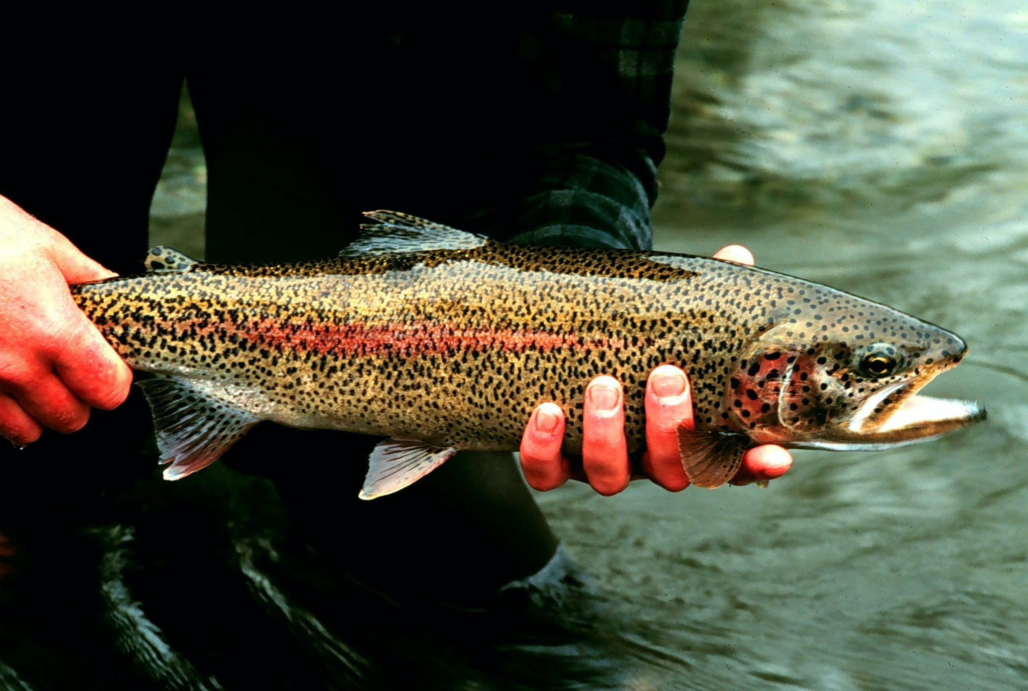 A person holds a trout above the surface of a creek.