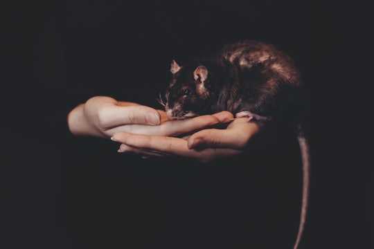 a person's hands holding large black rat