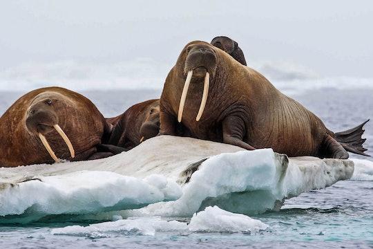 Pacific walruses on an ice floe