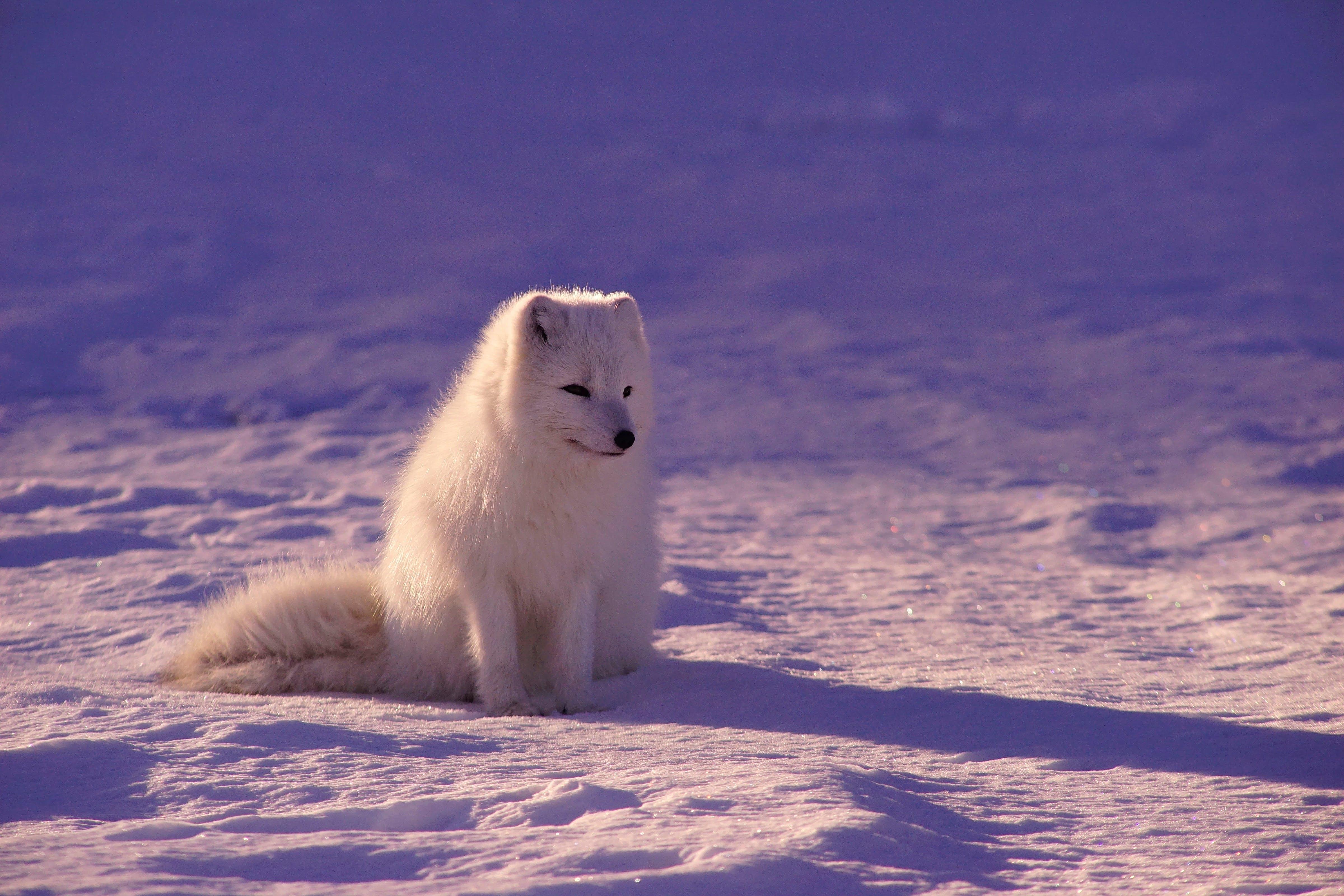 arctic fox sitting on snow