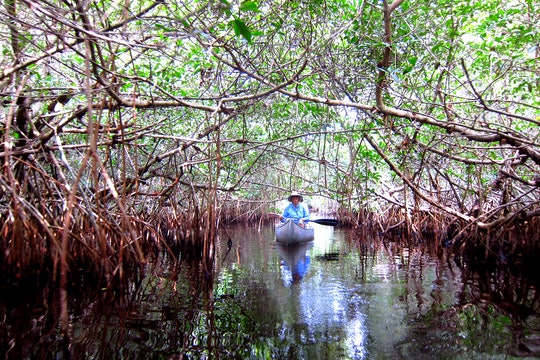 A canoe rows under a thicket of mangrove trees in Big Cypress National Preserve.
